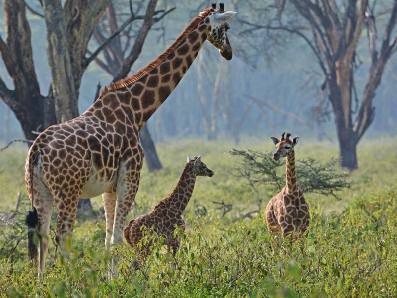Masai Mara giraffe - Destination List