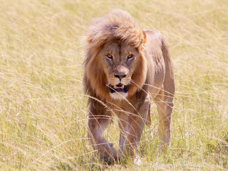 Masai Mara leone2 - Safari Kenya