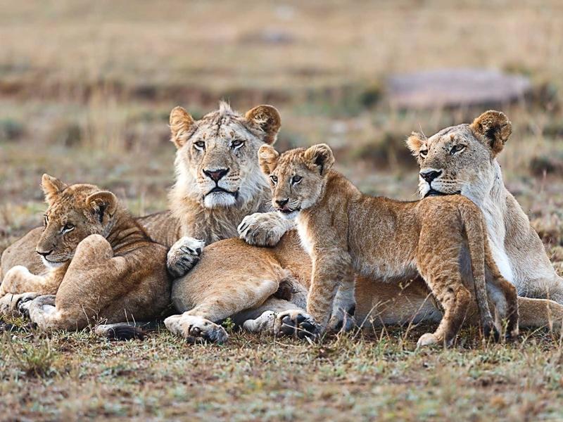 Masai Mara leoni - Kenya tour