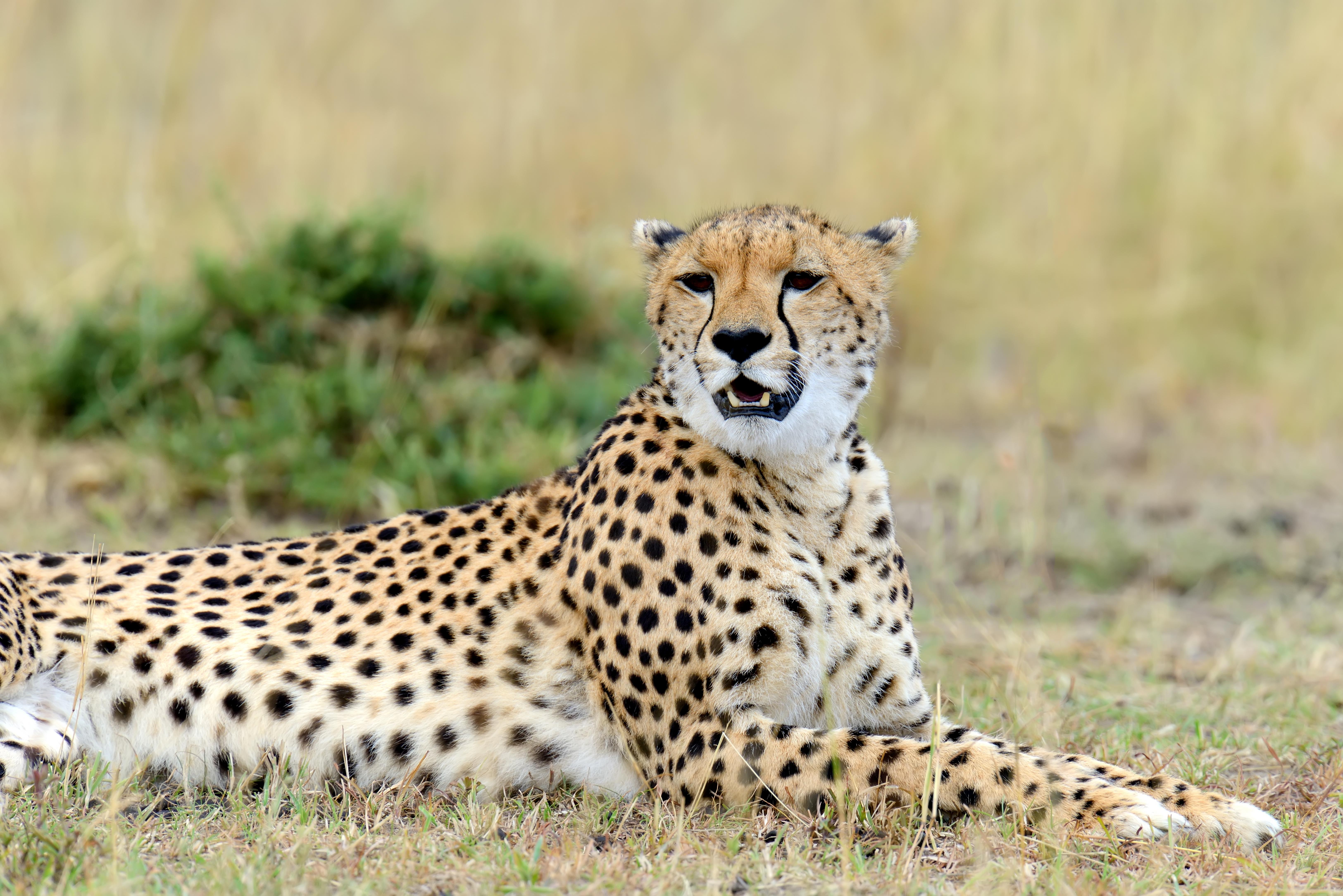 cheetah africa kenya PTDLWKF - La Riserva dello Tsavo