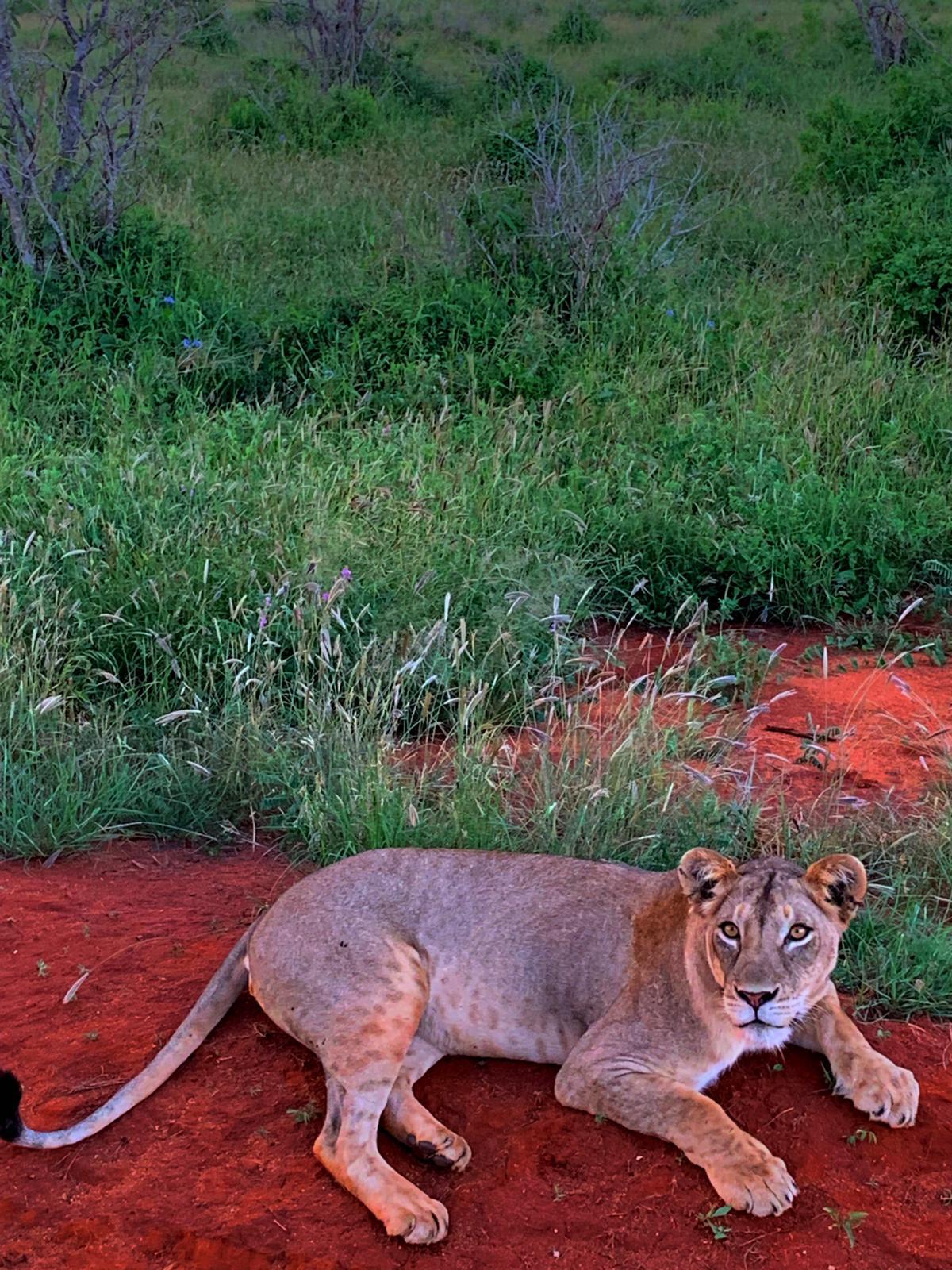 WhatsApp Image 2019 12 16 at 13.45.281 - Safari Samburu . Olpejeta . Lago Nakuru . Lago Bogoria . Lago Naivasha . Masai Mara . Nairobi . Amboseli . Tsavo Ovest . Taita Hills . Tsavo Est